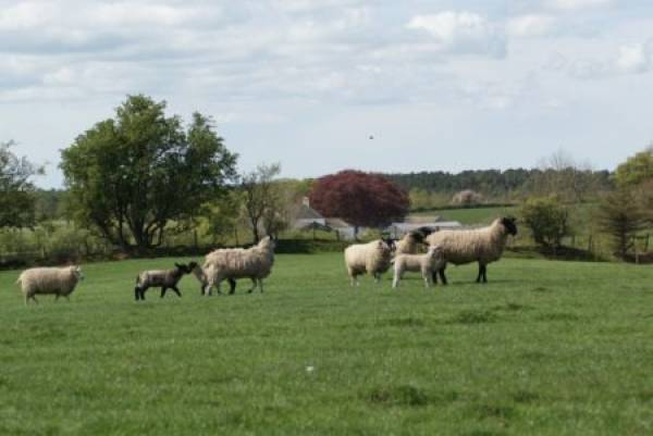 Group of sheep in a field