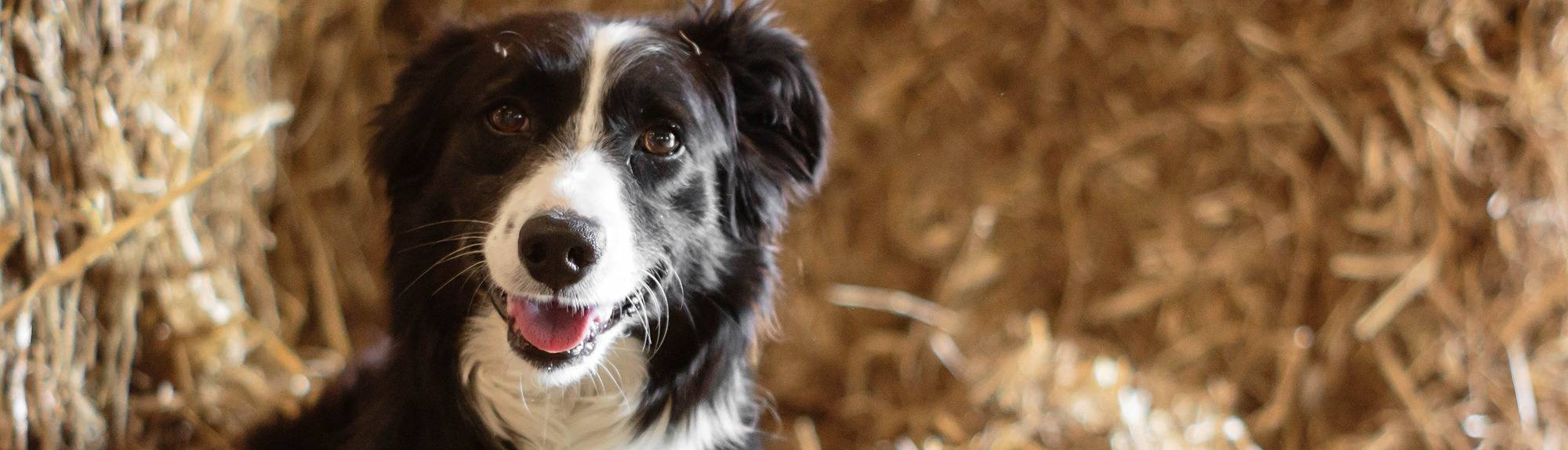 Border Collie dog sitting in straw