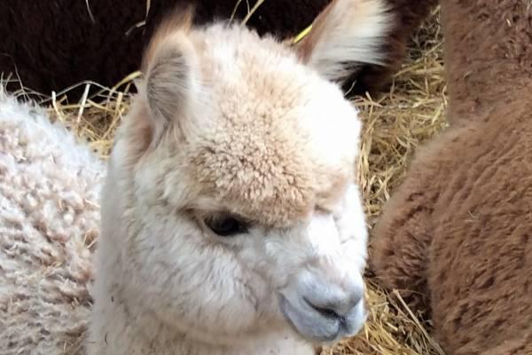 Specialist Alpaca Insurance Unique to UK