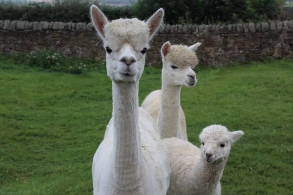 Meet the Bushblade Alpacas
